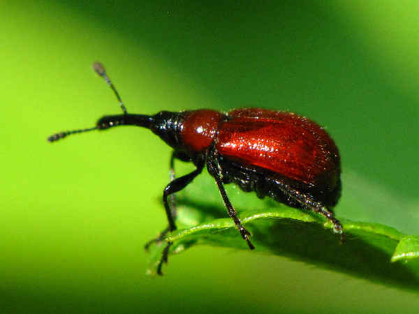 picture of a rose weevil