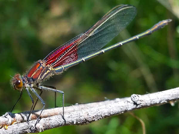 picture of a Ruby Spot damselfly, types of damselflies