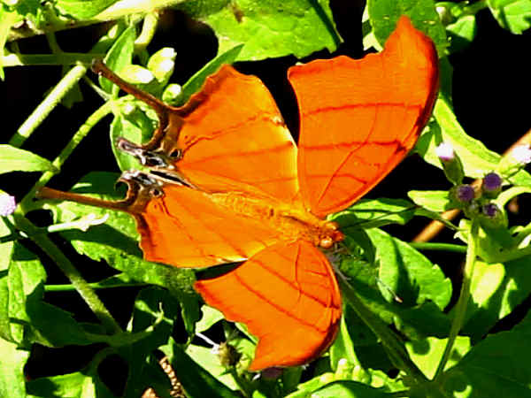 picture of a Ruddy Daggerwing butterfly, a types of insects special coverage topic