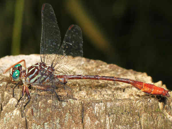 picture of a Russet-tipped Clubtail dragonfly, part of the clubtail dragonfly pictures series