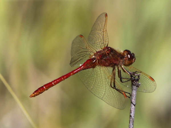 picture of a Saffron-winged Meadowhawk dragonfly