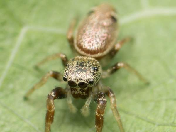 picture of a Sassacus vitis Jumping Spider