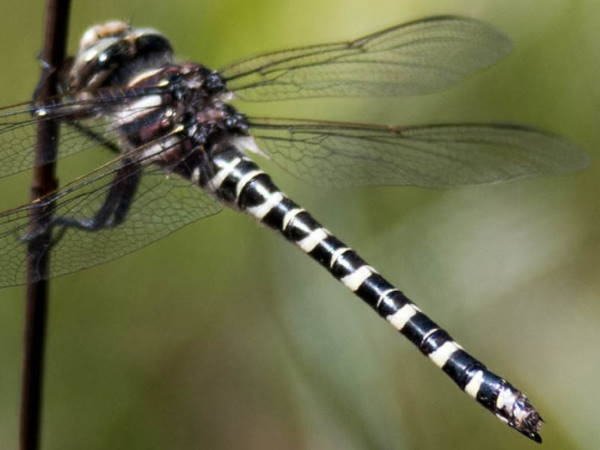picture of a Say's Spiketail