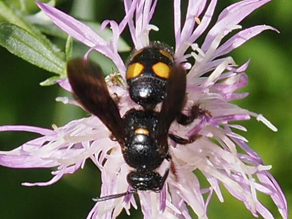 picture of a Scoliid Wasp