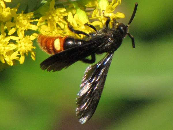 picture of a Scoliid wasp in Florida