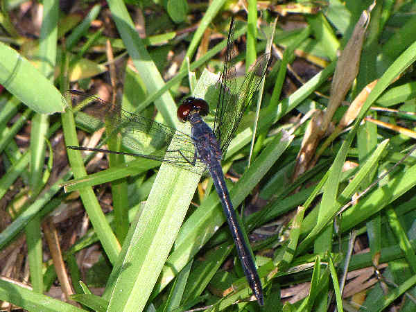 picture of a Seaside dragonfly