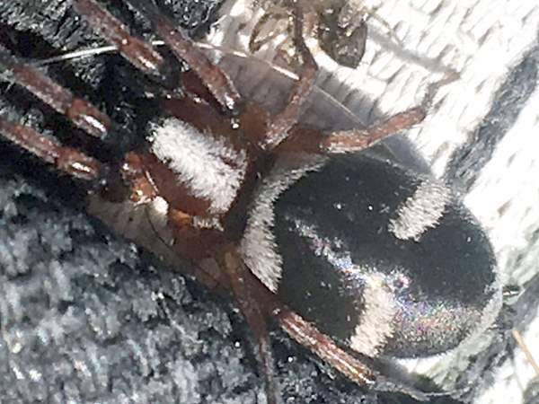 picture of a Ground Spider, Sergiolus montanus