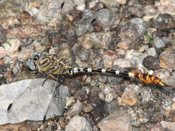picture of a serpent ringtail dragonfly