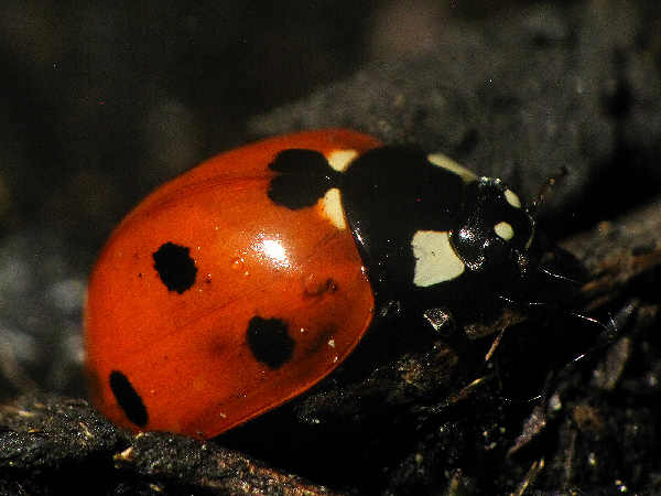 picture of a seven spotted lady beetle, one of the most common types of ladybugs found in the garden
