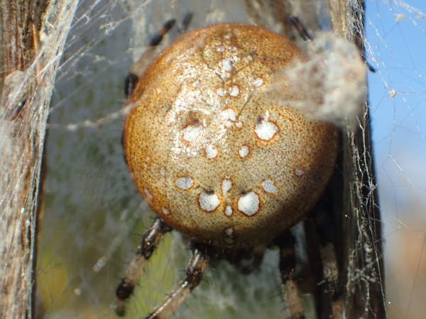 picture of a Shamrock Orbweaver