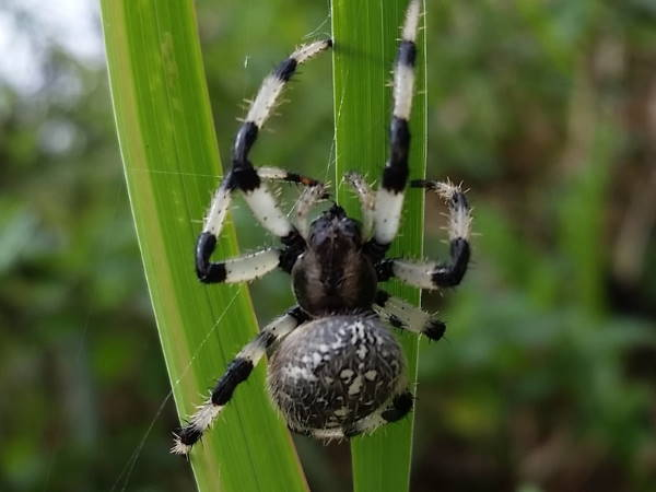 picture of a Shamrock Orbweaver, Iowa spiders