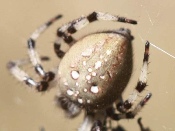 picture of a Shamrock Orbweaver spider, Araneus trifolium