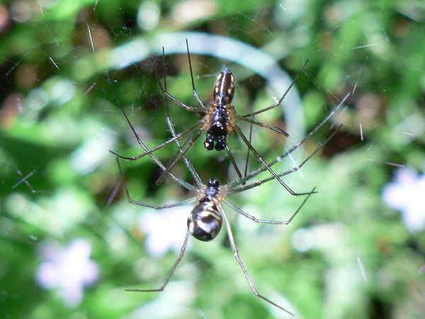 picture of a sheetweb spider, part of the Minnesota spiders series