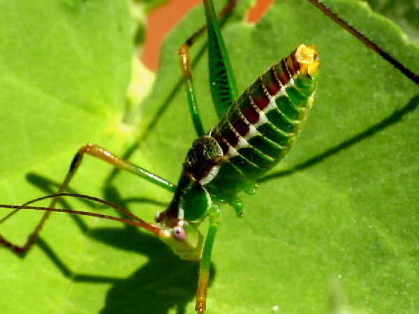picture of a short wing katydid
