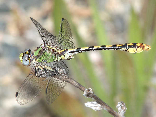 picture of a sinuous-snaketail dragonfly