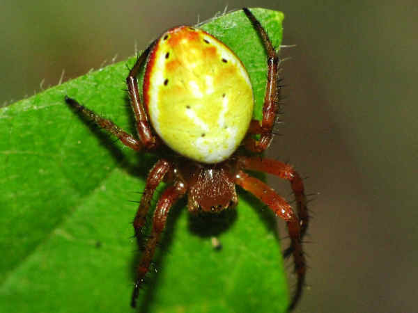 picture of a Six-spotted Orbweaver