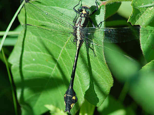 picture of a Skillet Clubtail Dragonfly, credit Don Henise, Flickr