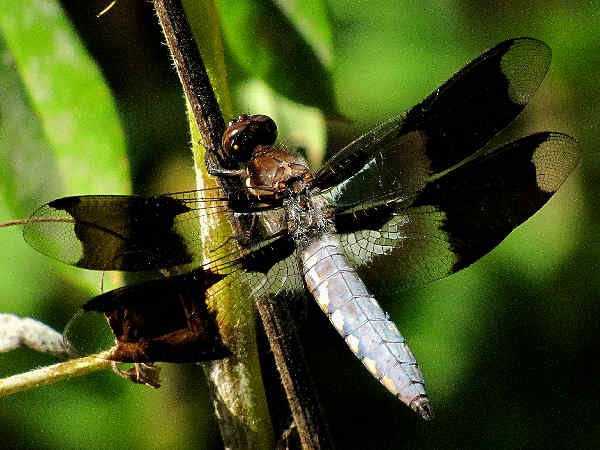 picture of a Skimmer dragonfly
