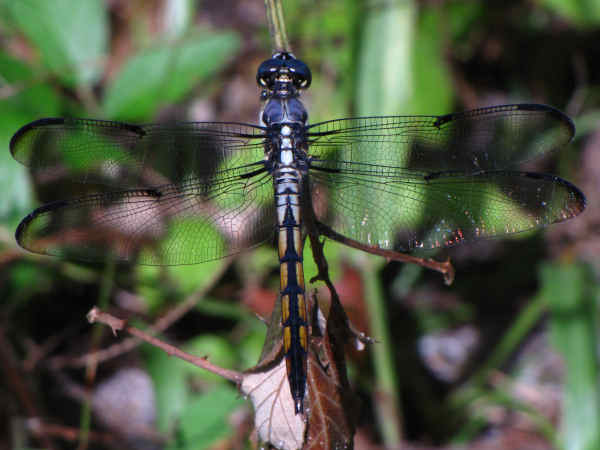 picture of a Great Blue Skimmer (Libellula vibrans)