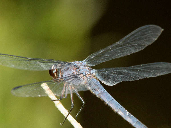 picture of a Slaty Skimmer dragonfly