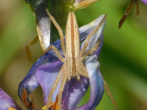 picture of a Slender Crab Spider