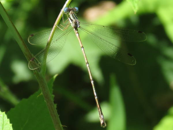 Slender spreadwing, damselfly identification