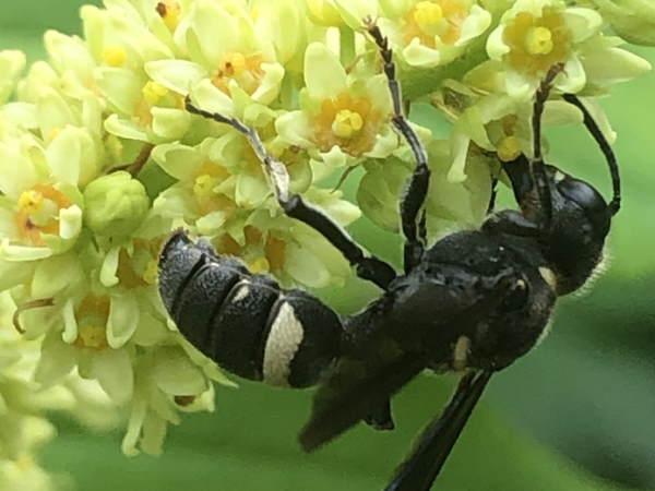 picture of a Smokey-winged Beetle Bandit, Michigan wasps