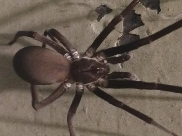 picture of a Southern House Spider, part of the Alabama spiders collection