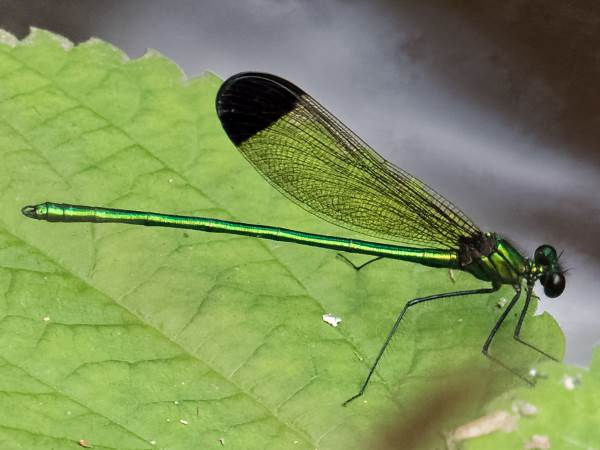 picture of a Sparkling Jewelwing damselfly, damselfly identification: Credit Flickr kenlarsen