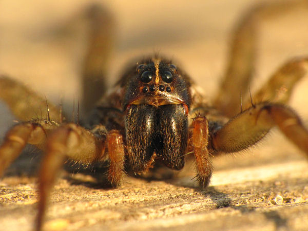 picture of a wolf spider face, types of spiders