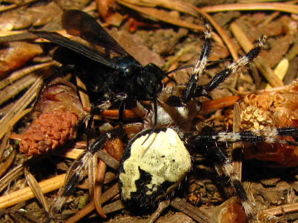 picture of a spider wasp catching a spider