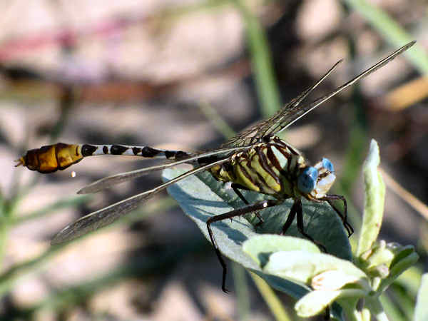 picture of a Flag-tailed Spinylegs dragonfly