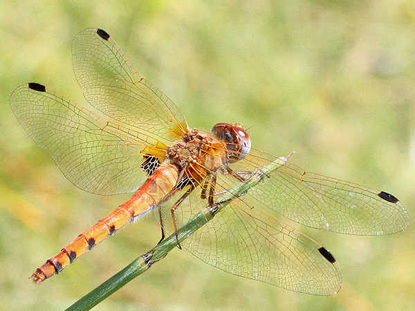 picture of a Spot-winged Meadowhawk dragonfly