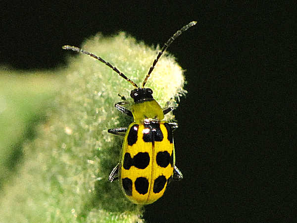 picture of a spotted cucumber beetle