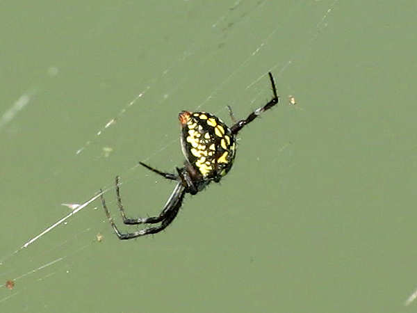 picture of a spotted orbweaver