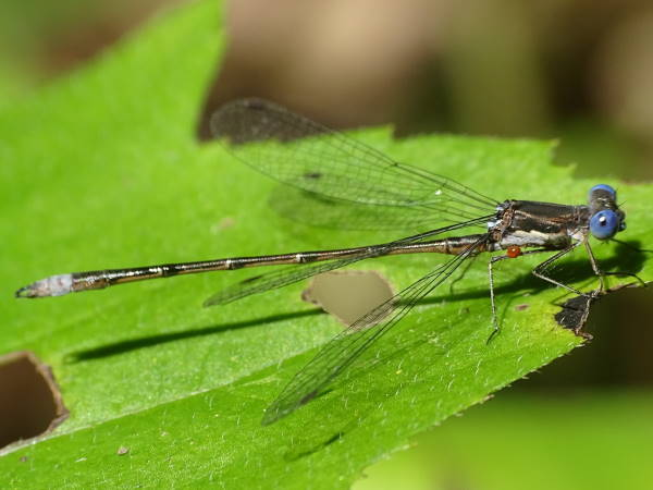 picture of a Spotted spreadwing damselfly