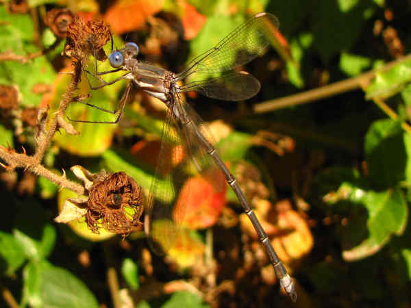 picture of a spreadwing damselfly