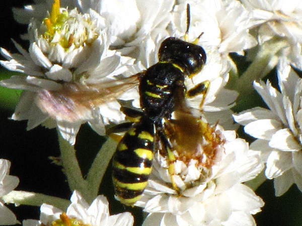 picture of a Square-headed wasp