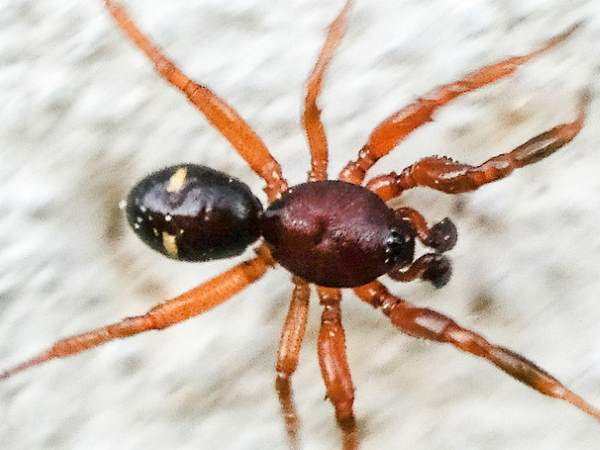 picture of a Steatoda americana spider