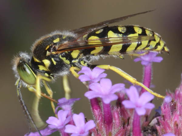 picture of a sand wasp in the genus Stenolia