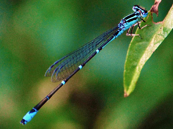 picture of a Stream Bluet, credit Aaron Carlson Flickr