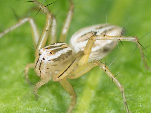 Striped Lynx spider, Iowa spiders