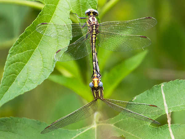 picture of a Sulphur-tipped Clubtail dragonfly. Credit Melissa McMaster Flickr