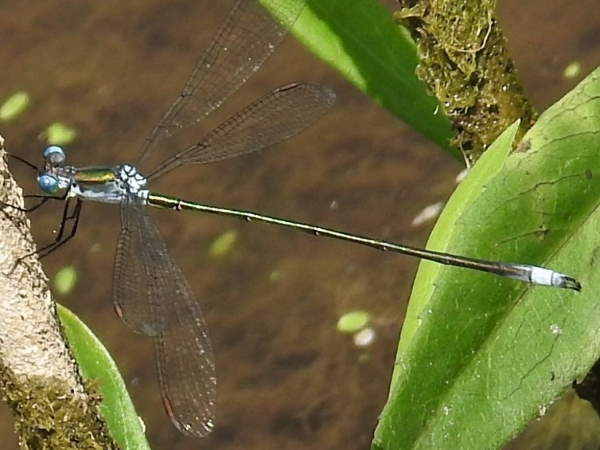 picture of a Swamp spreadwing damselfly