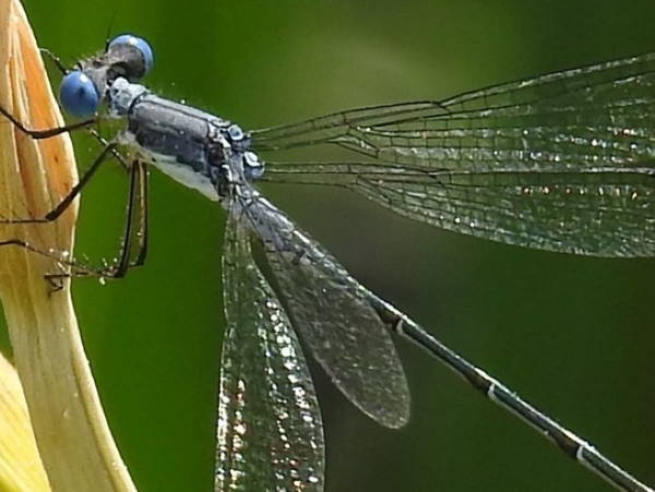 picture of a Sweetflag spreadwing damselfly