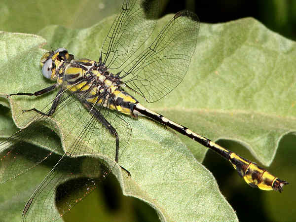 picture of a Tamaulipan Clubtail Dragonfly