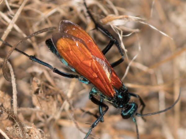 picture of a Tarantula Hawk wasp, Texas wasps