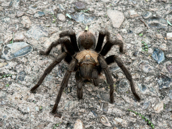 picture of a tarantula