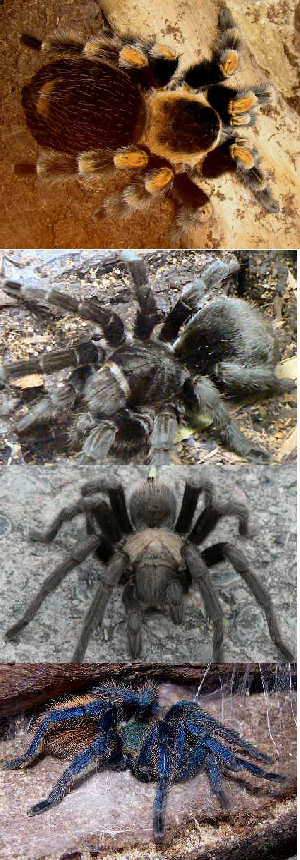 a collage shows pictures of four tarantuals, the Goliath birdeater, the desert tarantula, the Mexican redknee tarantula and the Greenbottle Blue Tarantula