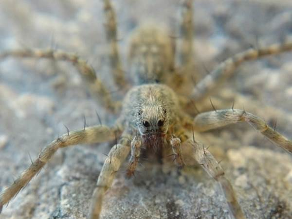 picture of a Thin-legged Wolf Spider